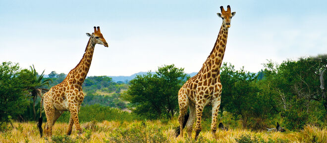 Girafes en Afrique du Sud