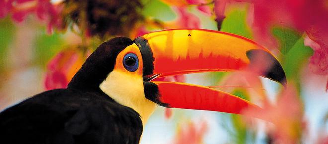 Toucan vu de profil