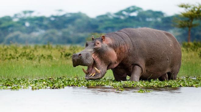 Hippopotame au bord du lac Naivasha