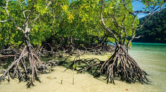 Mangrove aux Célèbes (Sulawesi)