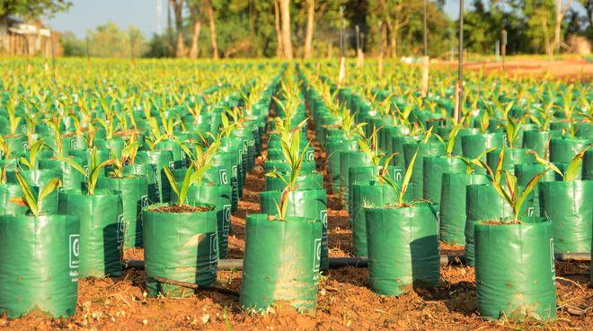 Pépinière de palmiers à huile en Thailande