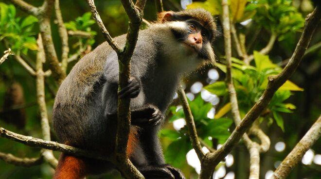 Moustac à oreilles rousses (Cercopithecus erythrotis) au Cameroun