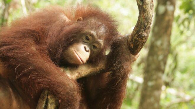 Orang-outan dans le Kalimantan central (Bornéo)
