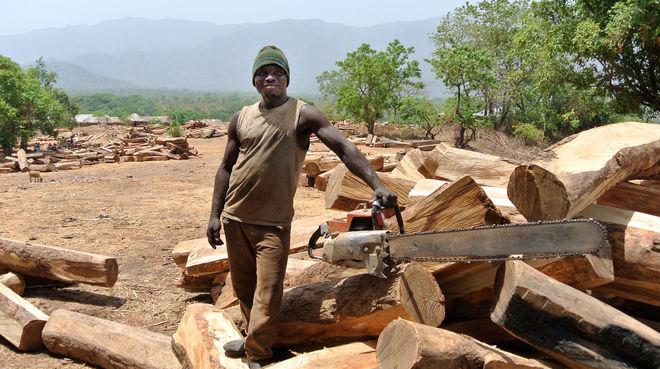 Un bûcheron prend la pose avec sa tronçonneuse dans l'aire de stockage réservée aux grumes de palissandre au Nigeria