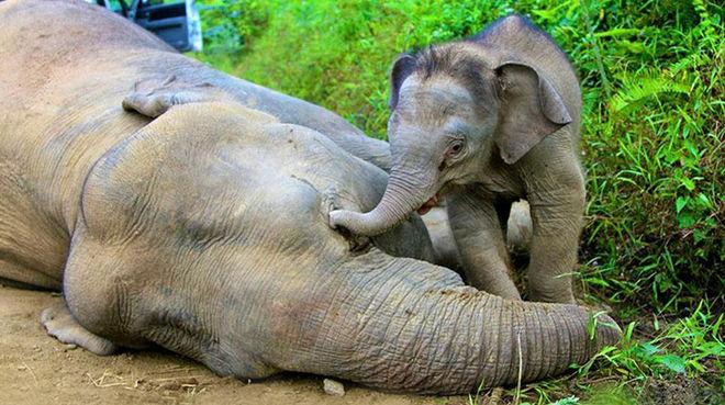 Avec sa trompe, un éléphanteau essaie de réanimer sa mère gisant sur le sol