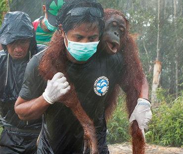 Sur fond de forêt défrichée, l'air grave, trois hommes portent secours à un orang-outan. L'un le transporte sur ses épaules, très concentré malgré la pluie