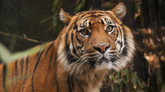 Tigre de Sumatra dans l'écosystème de Leuser