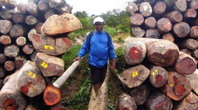 Photomontage : le militant écologiste Clovis Razafimalala encadré par des piles de grumes de bois de rose