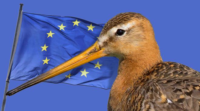Photomontage : une barge à queue noire (Limosa limosa) devant le drapeau de l'Union européenne