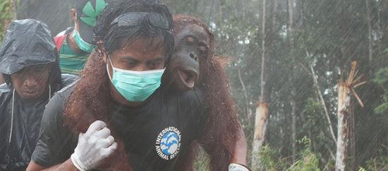 http://www.sauvonslaforet.org/uploads/photos/teaser_newsletter/borneo-orang-utan-verletzt.jpg