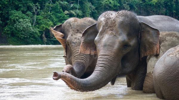 Des éléphants de Sumatra se baignent dans un fleuve