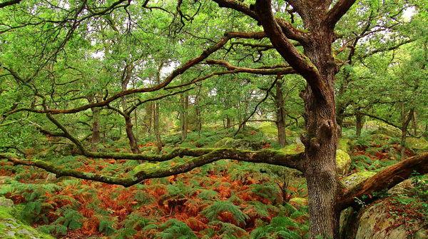 Chêne dans la forêt de Fontainebleau