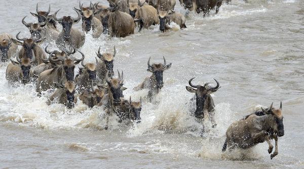 Gnou en traversant la Rivière Mara
