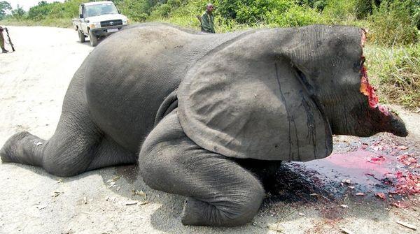 Image choquante : un éléphant dont les défenses en ivoire et la moitié de la tête ont été arrachés, git sur une route à l'intérieur du Parc national des Virunga