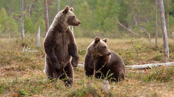 Deux ours bruns dans la forêt