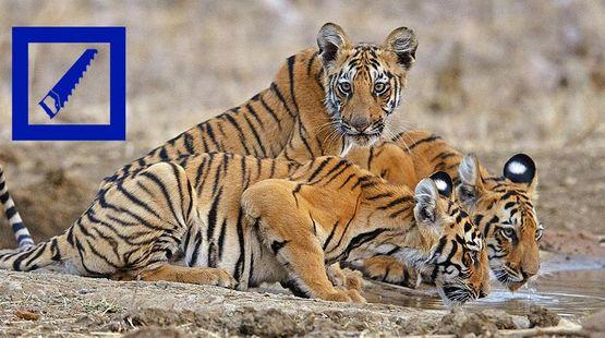 Trois tigres du Bengale autour d'un point d'eau
