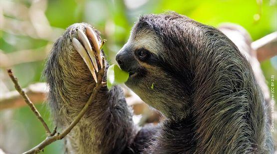 Un paresseux mange une feuille