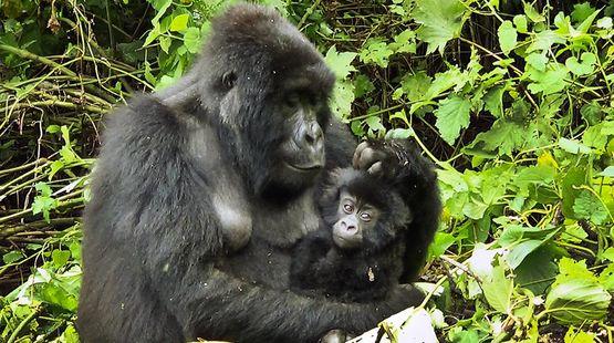 Dans une clairière, une gorille femelle tient son bébé dans ses bras