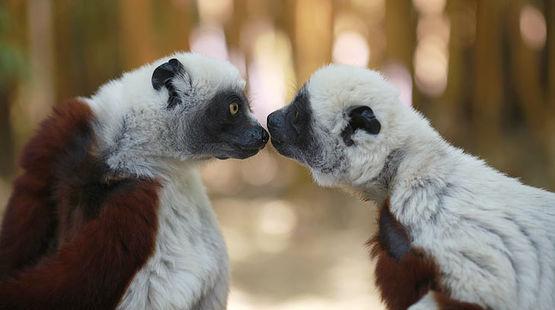 Gibson veut faire supprimer une loi écologique Lemuren-madagaskar-rbutler