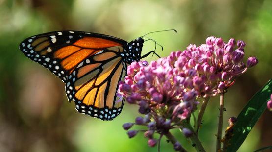 Vue de profil d'un papillon Monarque (Danaus plexippus) sur une plante asclépiade rose.