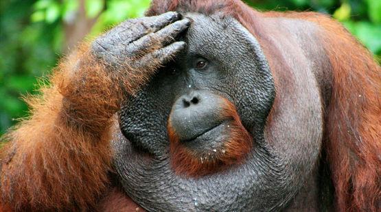 Un orang-outan se tient la tête, le regard soucieux
