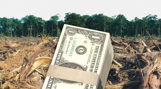 Une liasse de dollars de banque devant une forêt tropicale humide défrichée pour être convertie en plantation d'huile de palme