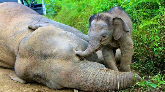 Éléphants empoisonnés pour l'huile de palme Sabah-pygmy-elefanten