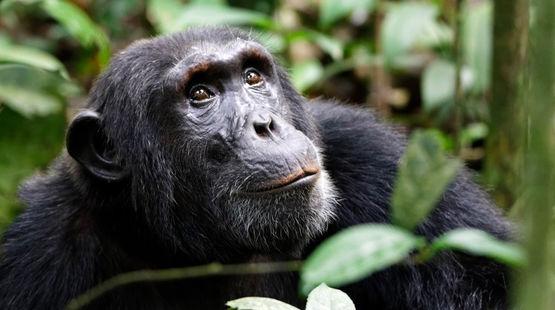 Un chimpanzé regarde vers le ciel dans la forêt tropicale