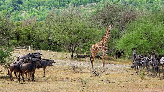 Gnous, girafe et zèbres autour d'un point d'eau dans la réserve de gibier de Selous