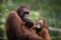 Une mère orang-outan et son enfant nous regardent d'air songeur. Leur sort est entre les mains de l'Homme.